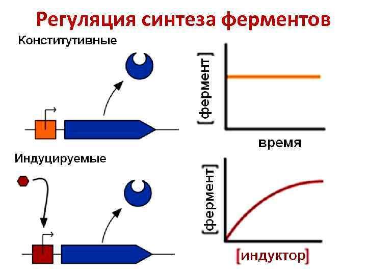 Регуляция синтеза ферментов