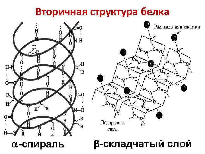 Вторичная структура белка -спираль β-складчатый слой