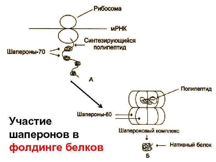 Участие шаперонов в фолдинге белков