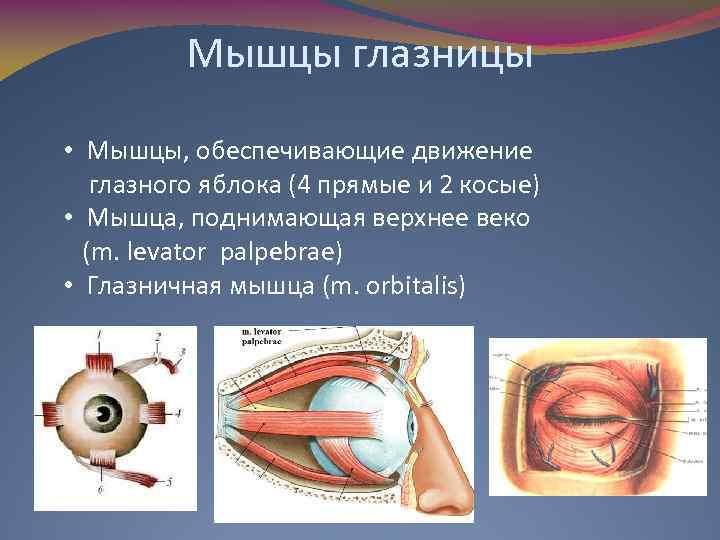 Мышцы глазницы • Мышцы, обеспечивающие движение глазного яблока (4 прямые и 2 косые) •
