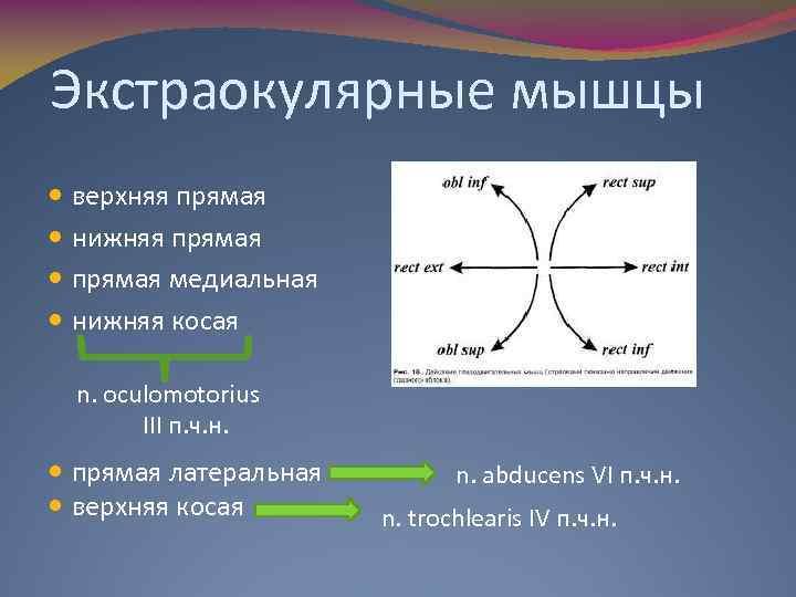 Экстраокулярные мышцы верхняя прямая нижняя прямая медиальная нижняя косая n. oculomotorius III п. ч.