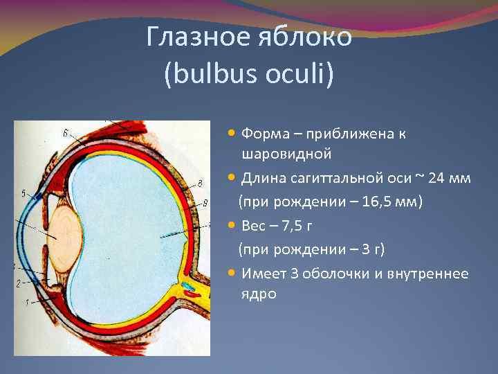 Глазное яблоко (bulbus oculi) Форма – приближена к шаровидной Длина сагиттальной оси ~ 24