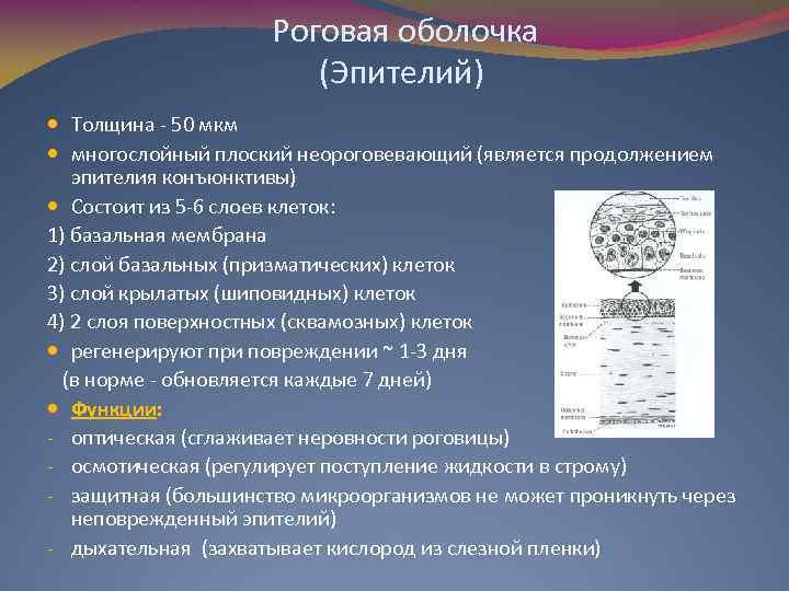 Роговая оболочка (Эпителий) Толщина - 50 мкм многослойный плоский неороговевающий (является продолжением эпителия конъюнктивы)