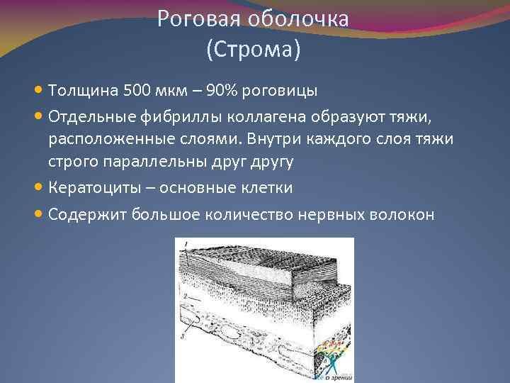 Роговая оболочка (Строма) Толщина 500 мкм – 90% роговицы Отдельные фибриллы коллагена образуют тяжи,