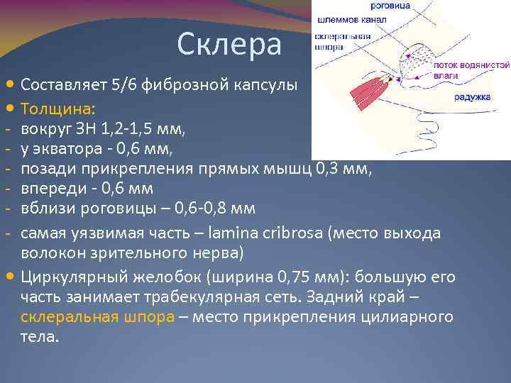 Склера Составляет 5/6 фиброзной капсулы Толщина: вокруг ЗН 1, 2 -1, 5 мм, у