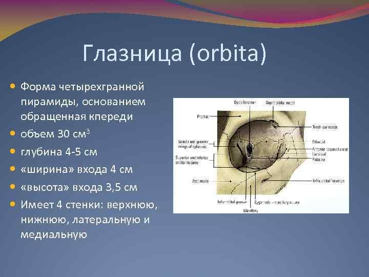 Глазница (orbita) Форма четырехгранной пирамиды, основанием обращенная кпереди объем 30 см 3 глубина 4