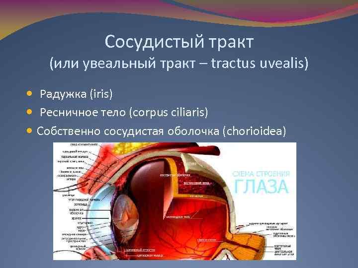 Сосудистый тракт (или увеальный тракт – tractus uvealis) Радужка (iris) Ресничное тело (corpus ciliaris)