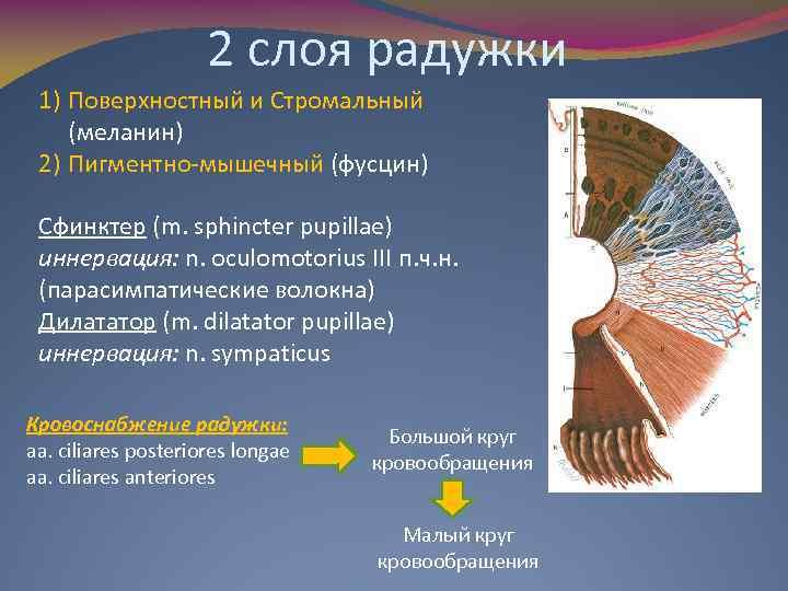 2 слоя радужки 1) Поверхностный и Стромальный (меланин) 2) Пигментно-мышечный (фусцин) Сфинктер (m. sphincter