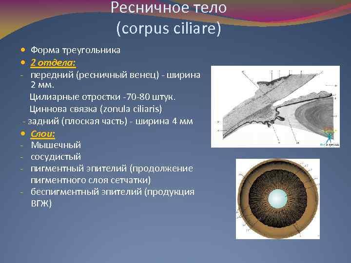 Ресничное тело (corpus ciliare) Форма треугольника 2 отдела: - передний (ресничный венец) - ширина