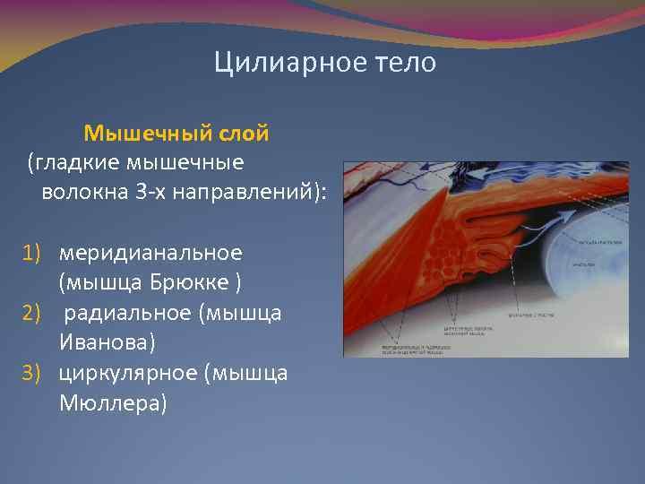 Цилиарное тело Мышечный слой (гладкие мышечные волокна 3 -х направлений): 1) меридианальное (мышца Брюкке