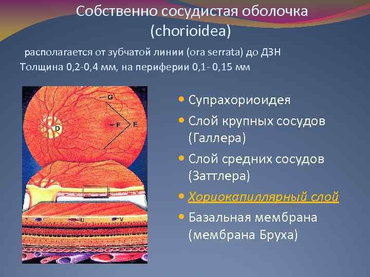 Собственно сосудистая оболочка (chorioidea) располагается от зубчатой линии (ora serrata) до ДЗН Толщина 0,