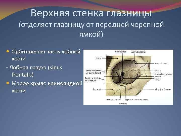 Верхняя стенка глазницы (отделяет глазницу от передней черепной ямкой) Орбитальная часть лобной кости -