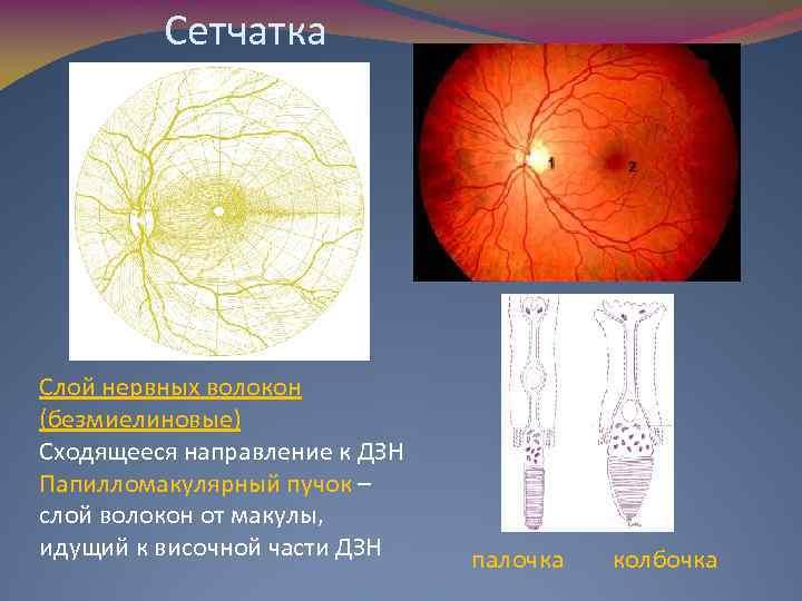 Сетчатка Слой нервных волокон (безмиелиновые) Сходящееся направление к ДЗН Папилломакулярный пучок – слой волокон