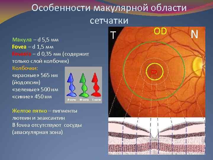 Особенности макулярной области сетчатки OD T Макула – d 5, 5 мм Fovea –