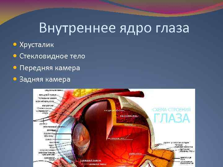 Внутреннее ядро глаза Хрусталик Стекловидное тело Передняя камера Задняя камера