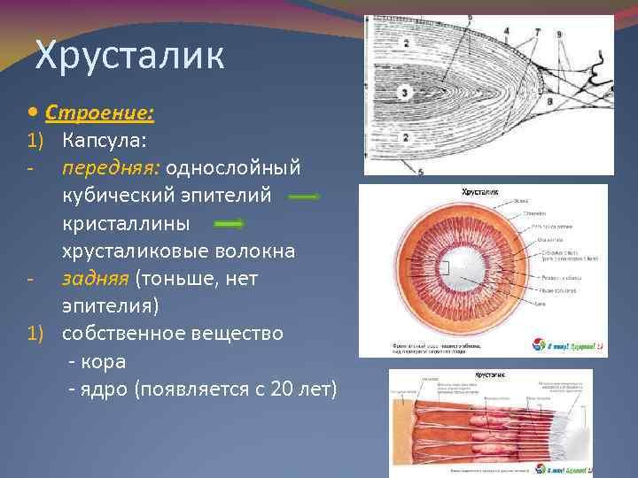 Хрусталик Строение: 1) Капсула: - передняя: однослойный кубический эпителий кристаллины хрусталиковые волокна - задняя