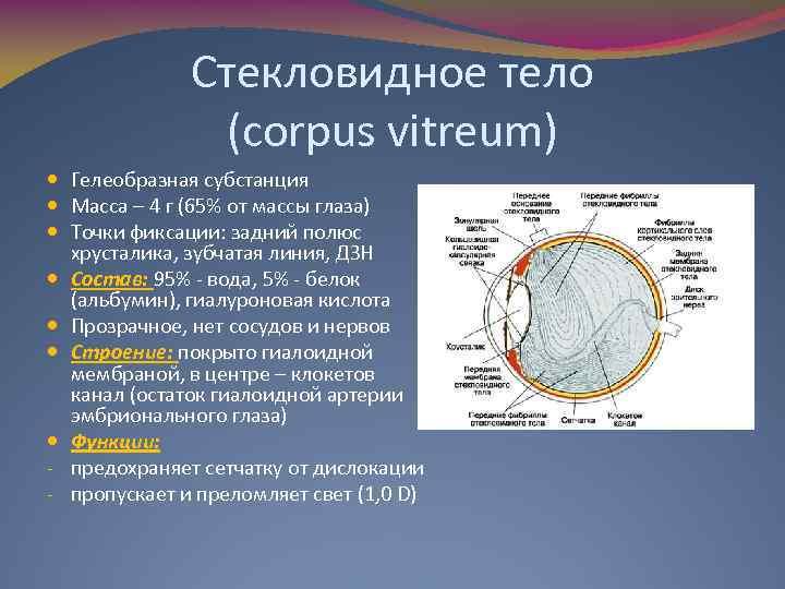 Стекловидное тело (corpus vitreum) Гелеобразная субстанция Масса – 4 г (65% от массы глаза)