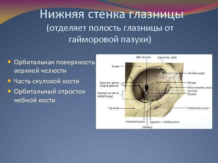 Нижняя стенка глазницы (отделяет полость глазницы от гайморовой пазухи) Орбитальная поверхность верхней челюсти Часть