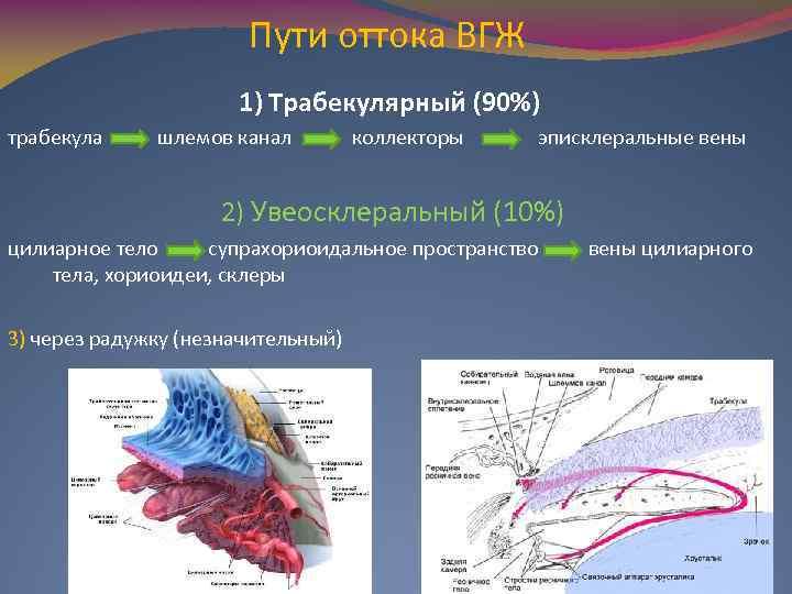 Пути оттока ВГЖ 1) Трабекулярный (90%) трабекула шлемов канал коллекторы эписклеральные вены 2) Увеосклеральный