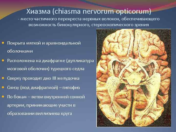 Хиазма (chiasma nervorum opticorum) - место частичного перекреста нервных волокон, обеспечивающего возможность бинокулярного, стереоскопического