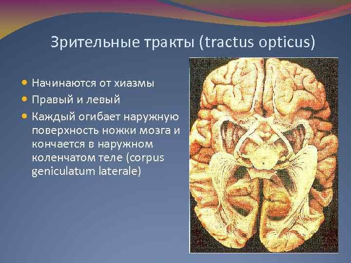Зрительные тракты (tractus opticus) Начинаются от хиазмы Правый и левый Каждый огибает наружную поверхность
