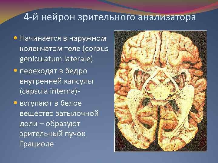 4 -й нейрон зрительного анализатора Начинается в наружном коленчатом теле (corpus geniculatum laterale) переходят