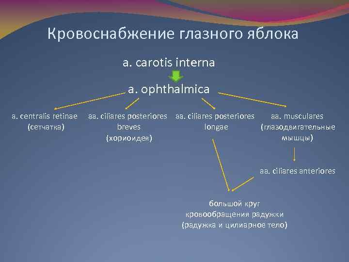 Кровоснабжение глазного яблока a. carotis interna a. ophthalmica a. centralis retinae (сетчатка) aa. musculares