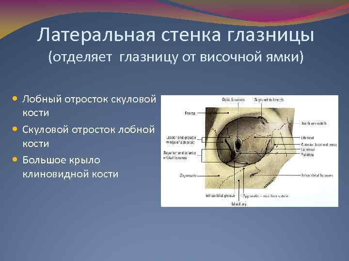 Латеральная стенка глазницы (отделяет глазницу от височной ямки) Лобный отросток скуловой кости Скуловой отросток