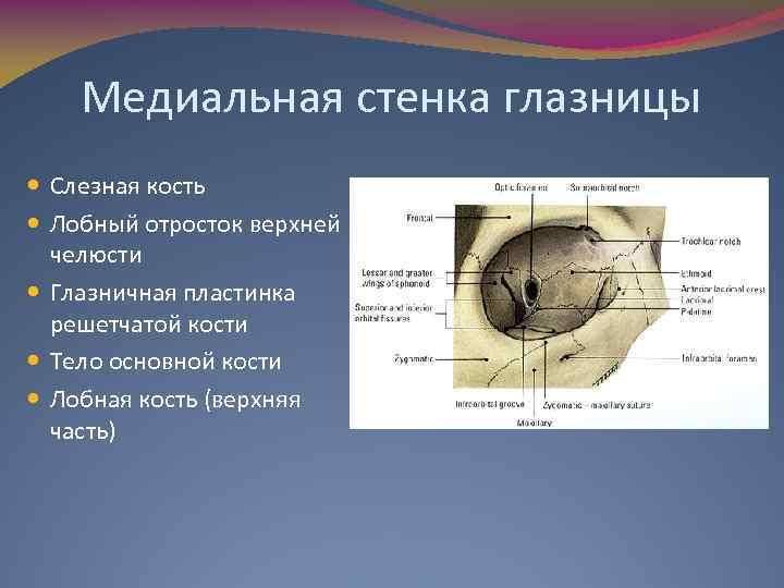 Медиальная стенка глазницы Слезная кость Лобный отросток верхней челюсти Глазничная пластинка решетчатой кости Тело