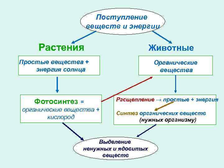 Поступление веществ и энергии Растения Животные Простые вещества + энергия солнца Фотосинтез = органические
