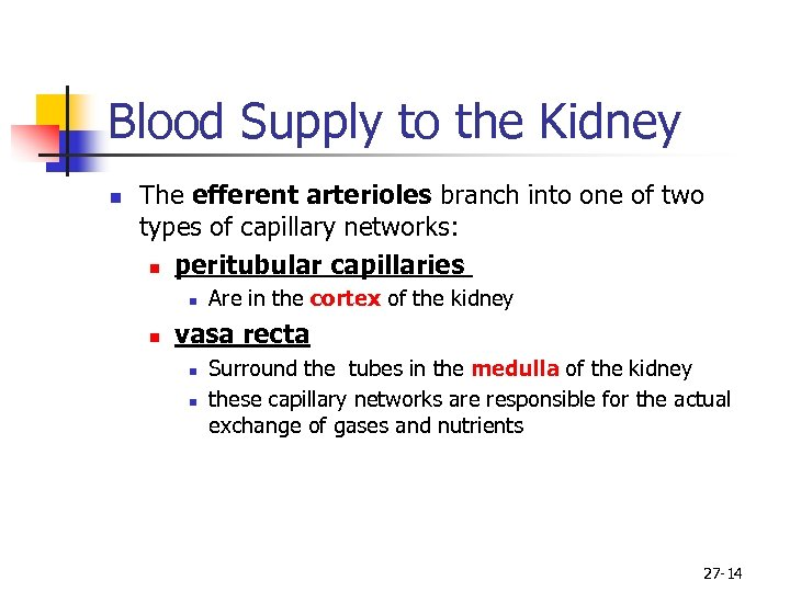Blood Supply to the Kidney n The efferent arterioles branch into one of two