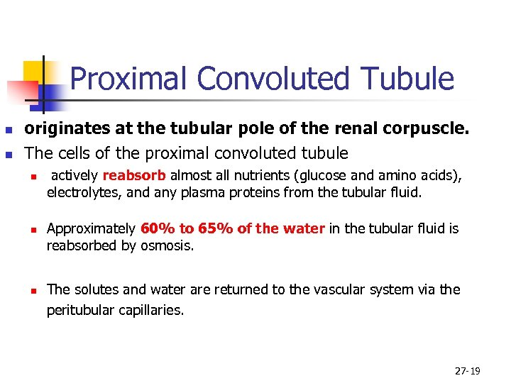 Proximal Convoluted Tubule n n originates at the tubular pole of the renal corpuscle.