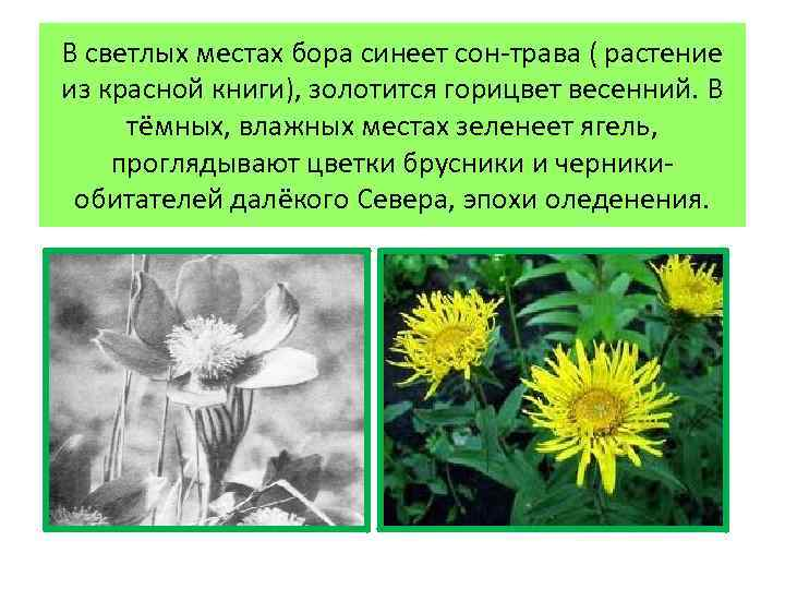 В светлых местах бора синеет сон-трава ( растение из красной книги), золотится горицвет весенний.