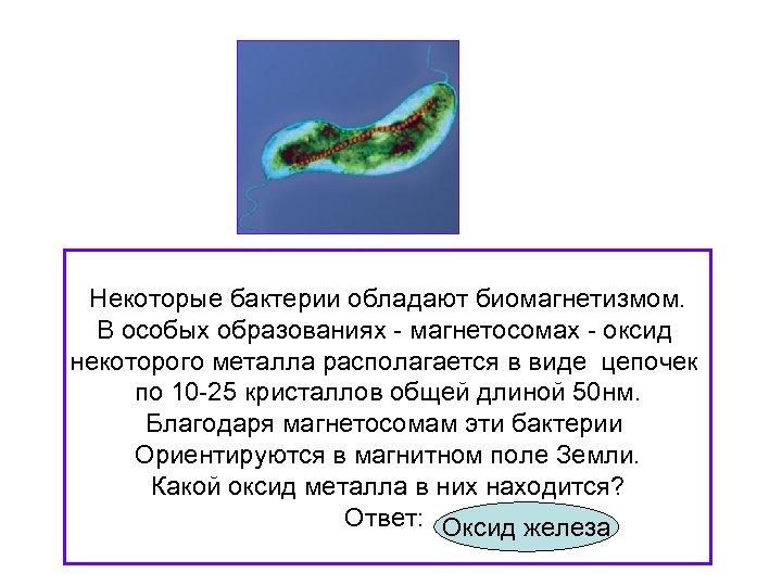 Некоторые бактерии обладают биомагнетизмом. В особых образованиях - магнетосомах - оксид некоторого металла располагается