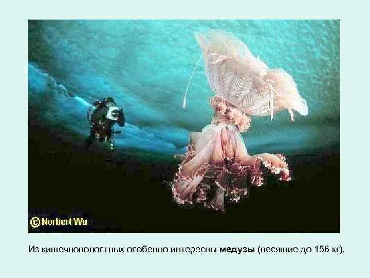 Из кишечнополостных особенно интересны медузы (весящие до 156 кг).