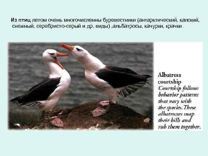 Из птиц летом очень многочисленны буревестники (антарктический, капский, снежный, серебристо-серый и др. виды) ,