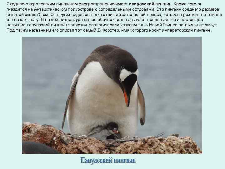 Сходное с королевским пингвином распространение имеет папуасский пингвин. Кроме того он гнездится на Антарктическом
