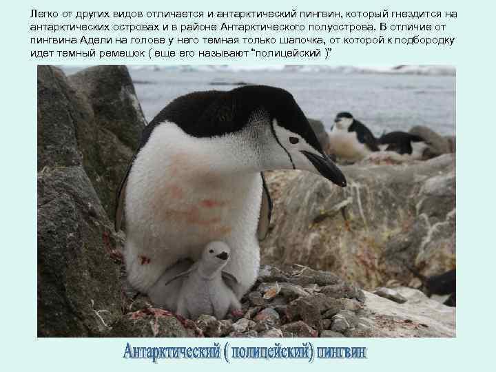Легко от других видов отличается и антарктический пингвин, который гнездится на антарктических островах и
