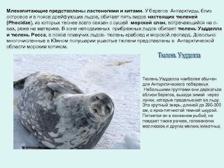 Млекопитающие представлены ластоногими и китами. У берегов Антарктиды, близ островов и в поясе дрейфующих