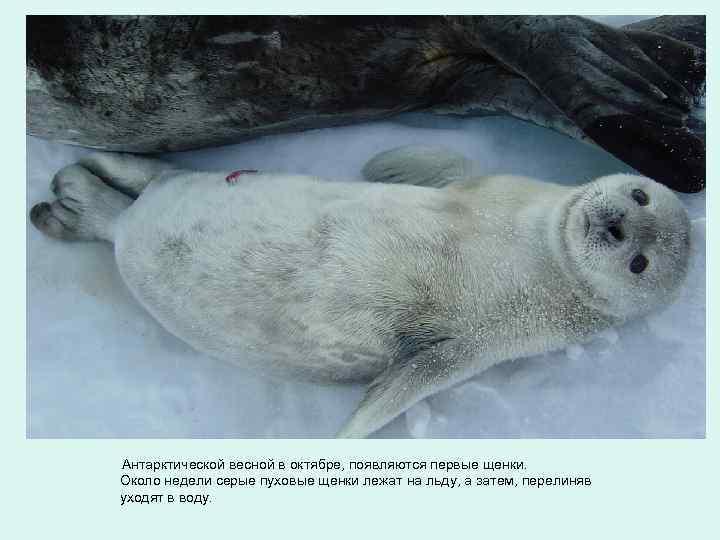 Антарктической весной в октябре, появляются первые щенки. Около недели серые пуховые щенки лежат на