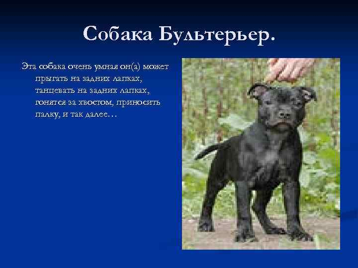 Собака Бультерьер. Эта собака очень умная он(а) может прыгать на задних лапках, танцевать на