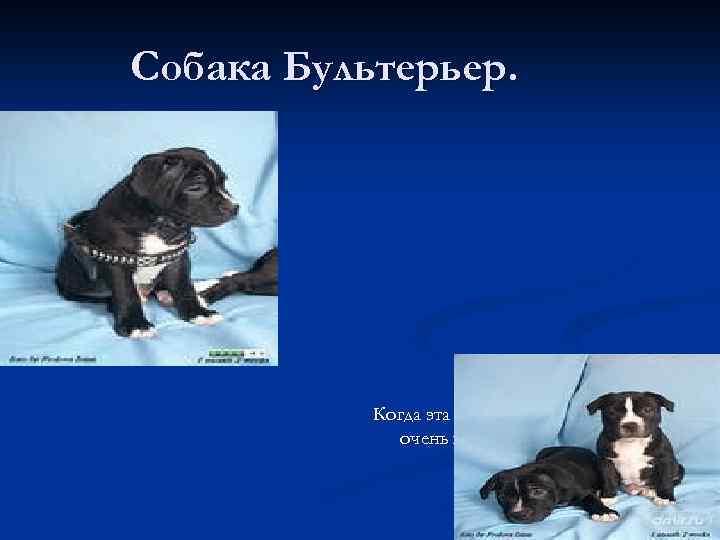 Собака Бультерьер. Когда эта собака рождается она очень маленькая.