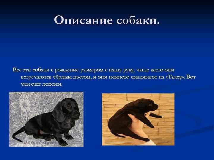 Описание собаки. Все эти собаки с рождение размером с нашу руку, чаще всего они