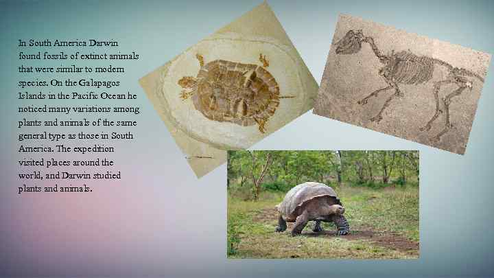 In South America Darwin found fossils of extinct animals that were similar to modern