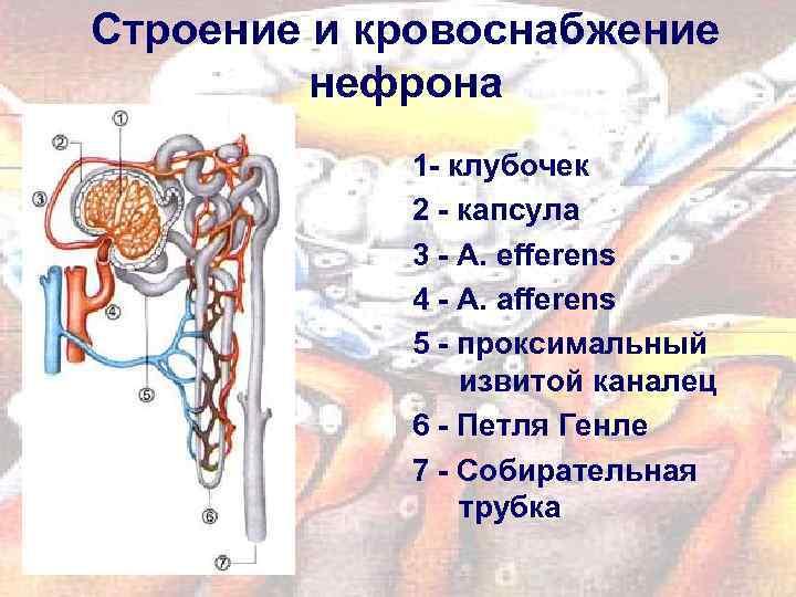 Строение и кровоснабжение нефрона 1 - клубочек 2 - капсула 3 - A. efferens