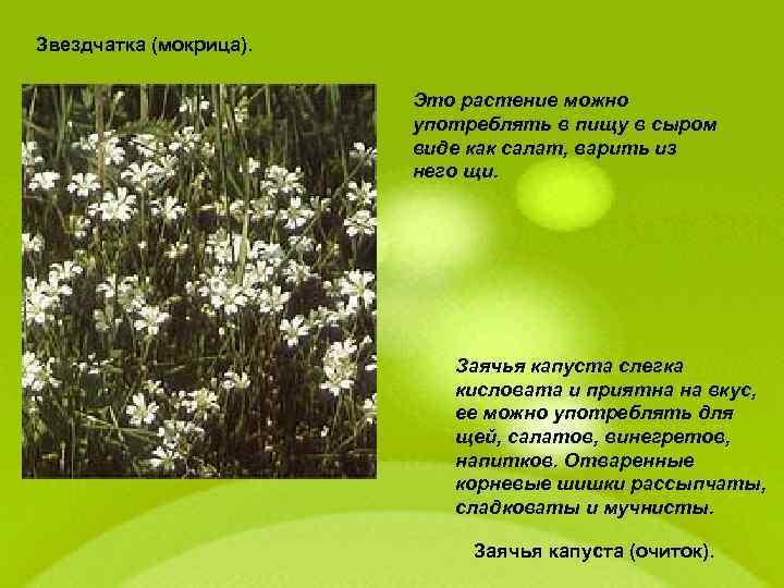 Звездчатка (мокрица). Это растение можно употреблять в пищу в сыром виде как салат, варить