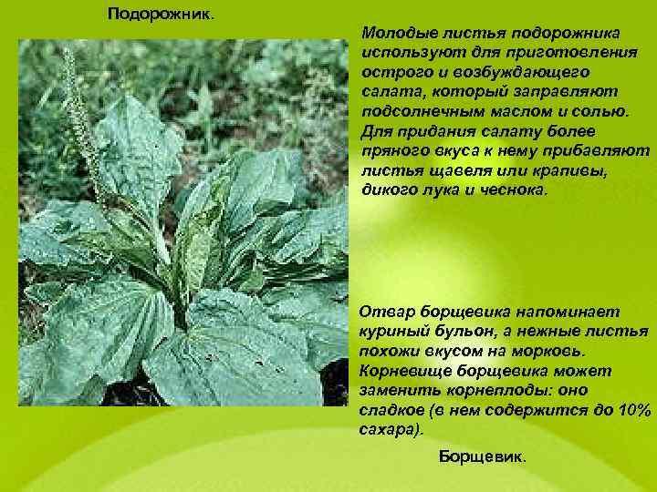 Подорожник. Молодые листья подорожника используют для приготовления острого и возбуждающего салата, который заправляют подсолнечным