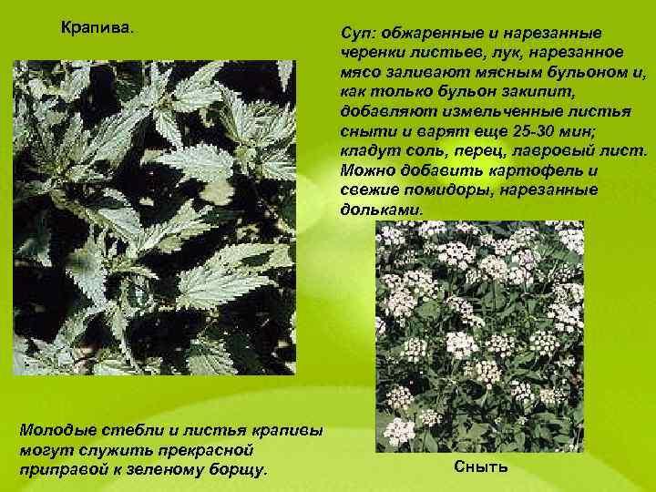 Крапива. Молодые стебли и листья крапивы могут служить прекрасной приправой к зеленому борщу. Суп: