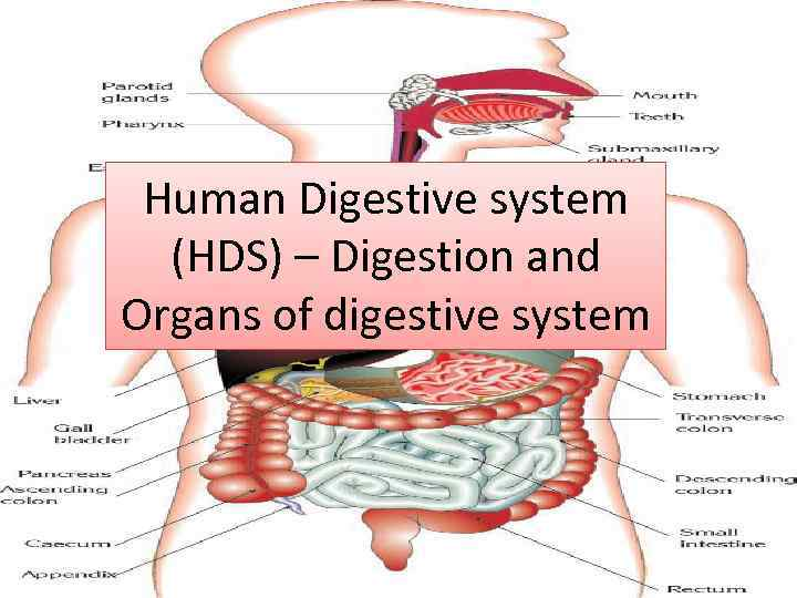 Human Digestive System Hds Digestion And Organs