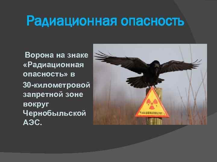 Радиационная опасность Ворона на знаке «Радиационная опасность» в 30 -километровой запретной зоне вокруг Чернобыльской